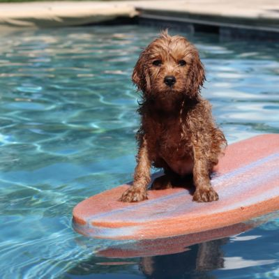 During The Dog Days Of Summer, Can Dogs Swim In Pools?